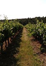 Allée entre des pieds de vigne