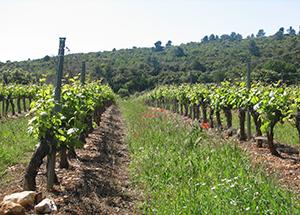 Ceps de vigne